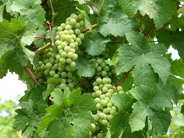 White grapes in Dutch vineyard