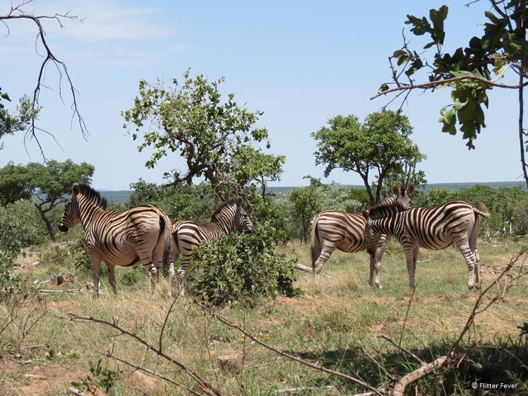 Zebra's spotten in Zuid Afrika