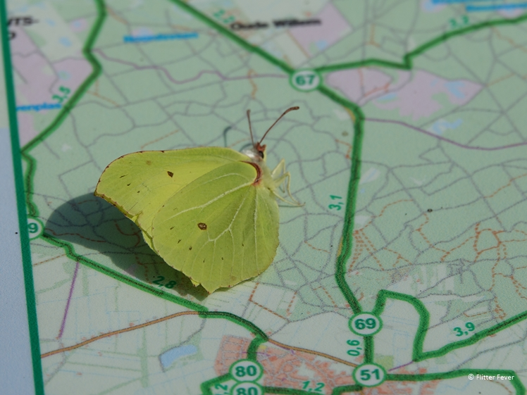 Brimstone butterfly at cycling junction board NP Dwingelderveld Drenthe