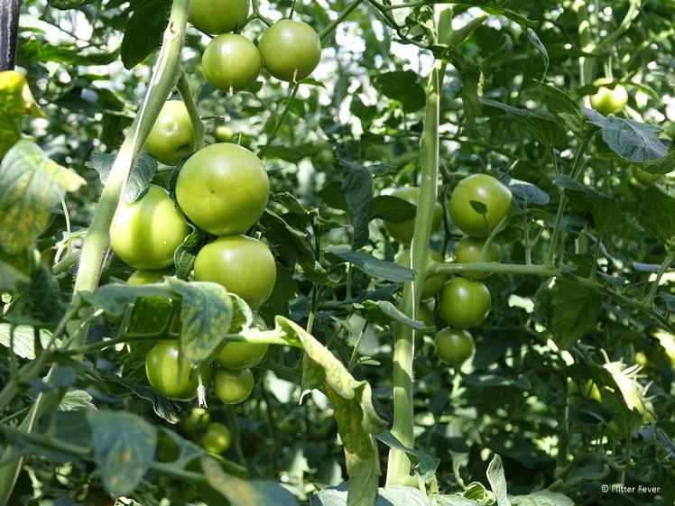 Deze tomaten zijn duidelijk nog niet rijp - Fridheimar Golden Circle