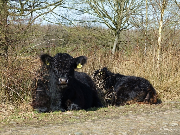Galloway cows at the Twins route Schoonloo Drenthe