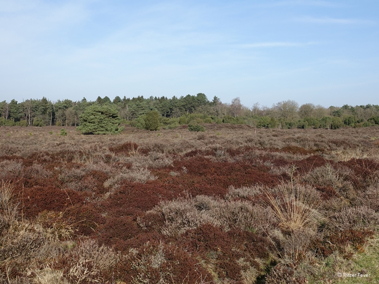 Heather near Terhorsterzand Central Drenthe