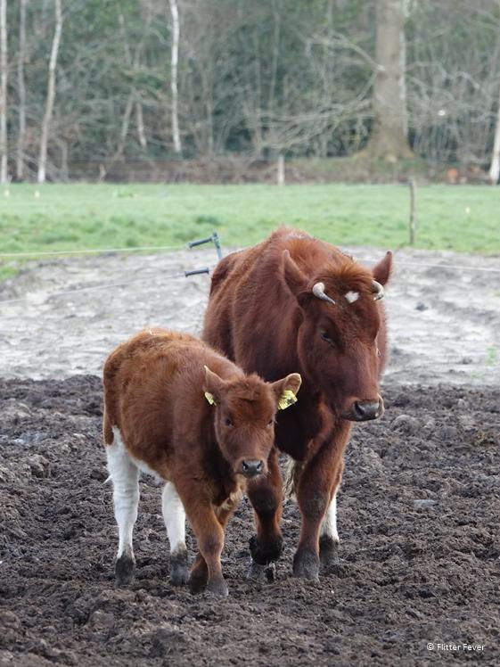 Bruine koe en kalf Landgoed Boschhoeve Zuidoost Friesland