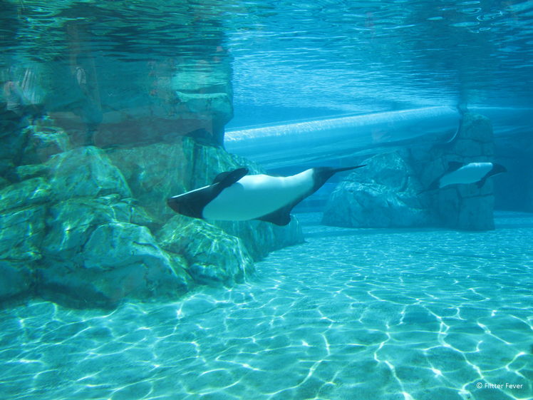 Dolphins swim by the underwater slide in Aquatica