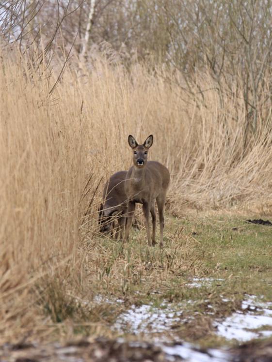 Hertjes in Nationaal Park Alde Feanen Friesland