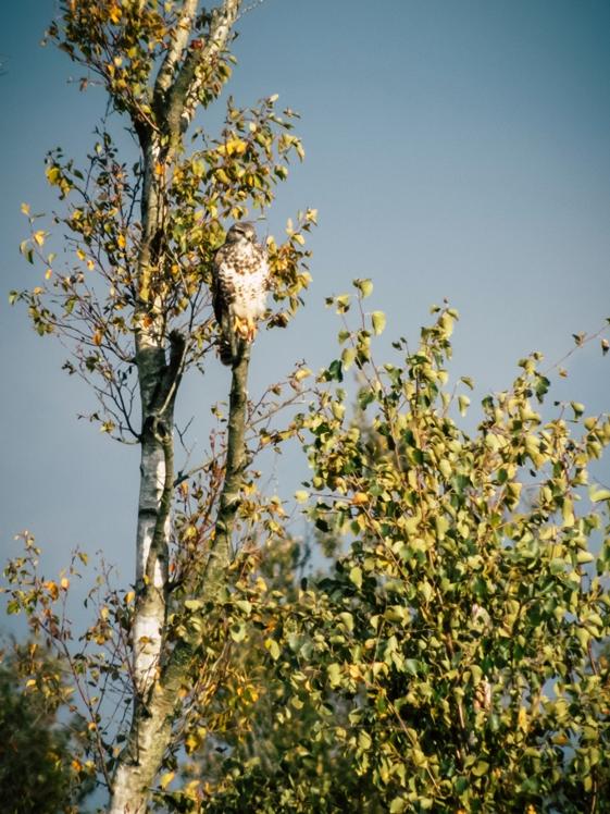 Roofvogel in boom Nationaal Park Alde Feanen Friesland