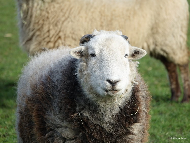 Super cute sheep at B&B Efkesutfanhuzje in Hoornsterzwaag Southeast Friesland