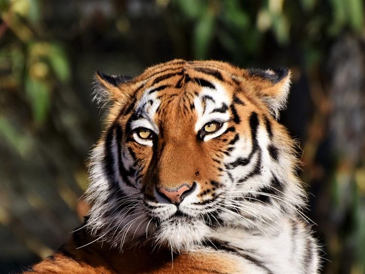 Tiger in Felida Big Cat Sanctuary in Nijeberkoop Southeast Friesland