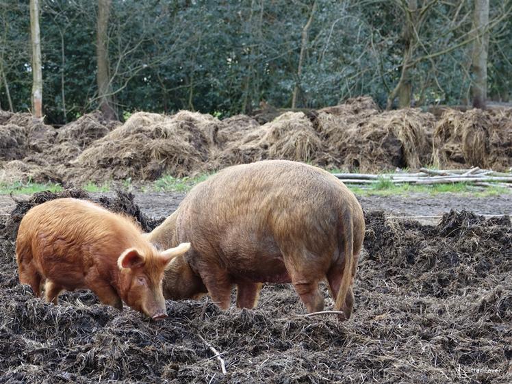 Rooting organic pigs at Boschhoeve Estate Nijeberkoop Southeast Friesland