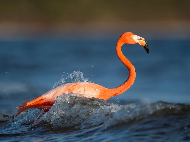 Pink flamingo at Naples Beach