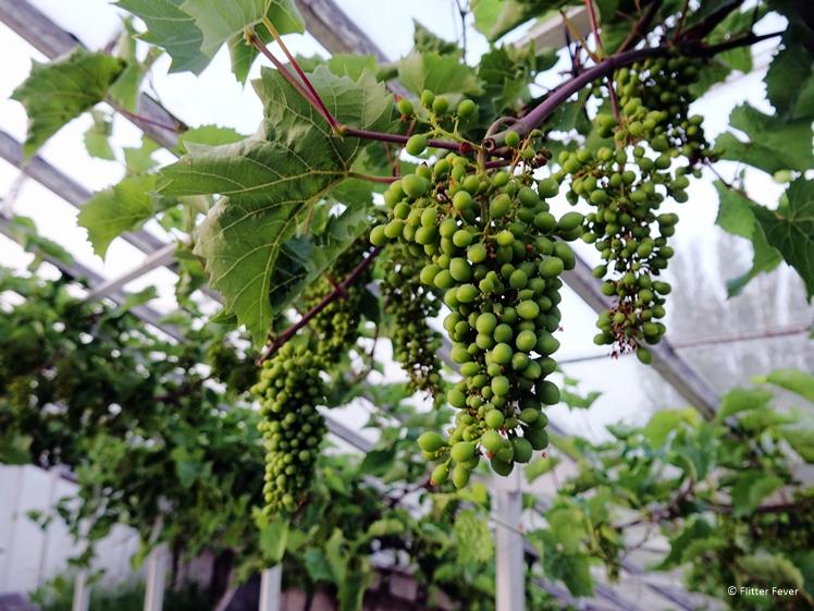 Wine grapes in the greenhouse at Wijngaard Saalhof in Wognum Dutch vineyard