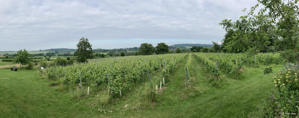 De glooiende wijngaard van Domein Holset