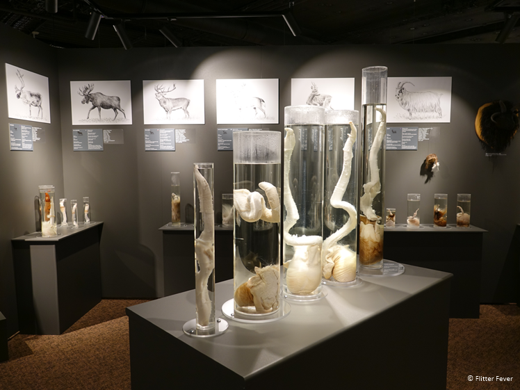 De penissen van verschillende hert- en geitachtigen The Icelandic Phallological Museum