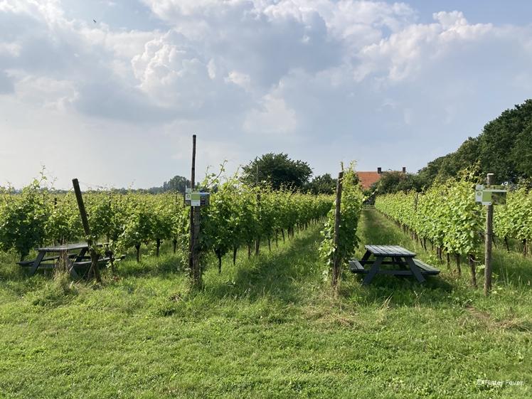 De wijngaard van Wijngaard De Plack in Groesbeek Gelderland