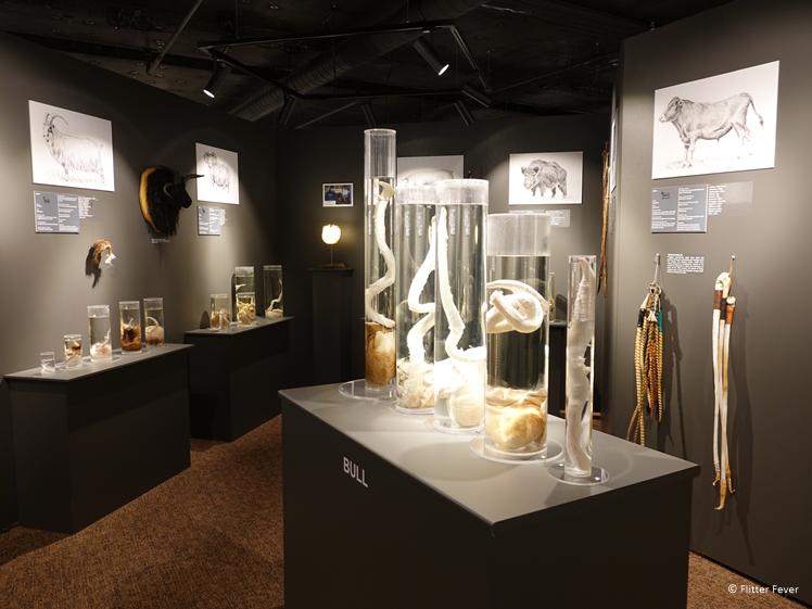 Het IJslandse Penis Museum stelt een flinke collectie ten toon