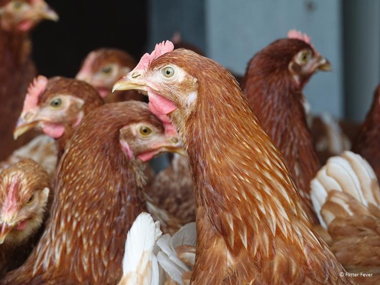 Kippen bij Wijngaard De Plack in Groesbeek Betsy's Kip