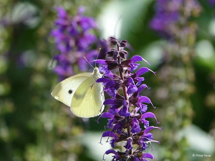 Witte vlinder bij paarse plant Domein Holset