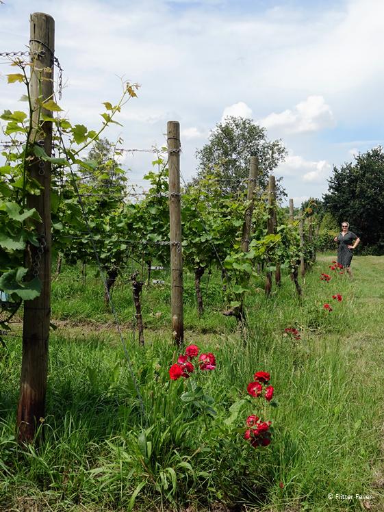 In de wijngaard van De Colonjes in Groesbeek