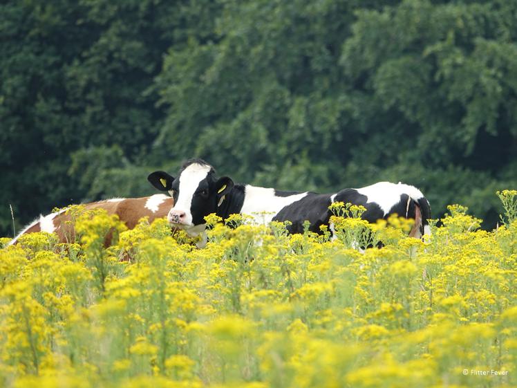 Koeien in geel bloemenveld in Groesbeek tijdens wijnwandelroute