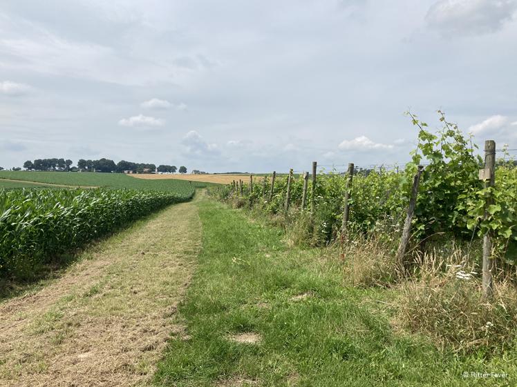 Wandelen tussen de wijngaard en maasveld in Groesbeek
